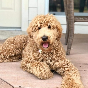 Goldendoodle Breed Photo